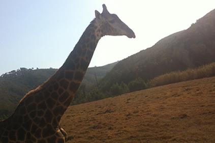 safari-joe